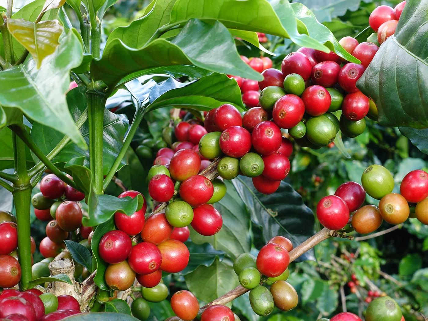 caffe-torrefazione-wowmokacoffe